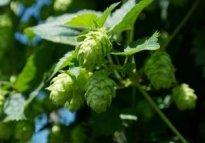 hop-vines-409870_640